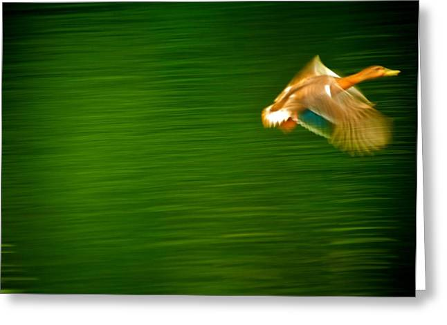 Duck In Motion Greeting Card