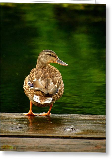 Duck On Dock Greeting Card