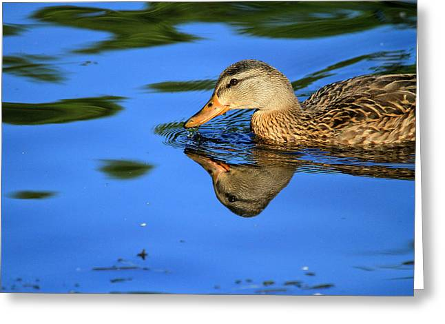 Duck Reflects Greeting Card by Karol Livote