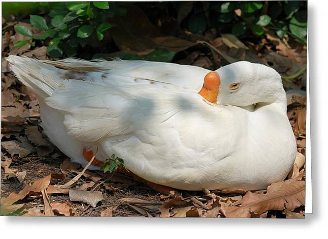 Greeting Card featuring the photograph Duck Resting by Fotosas Photography