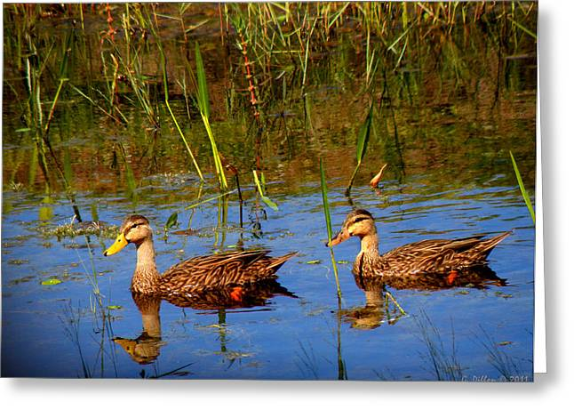 Ducks Afloat Greeting Card