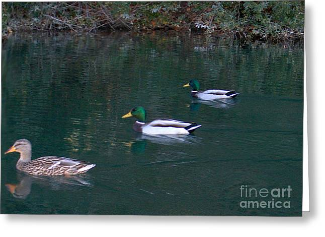Ducks In A Line  Greeting Card