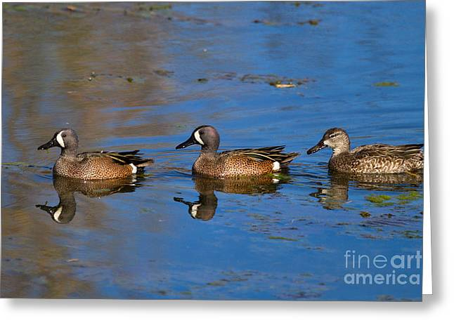 Ducks In A Row Greeting Card by Louise Heusinkveld