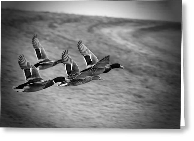Ducks In Flight V2 Bw Greeting Card by Douglas Barnard