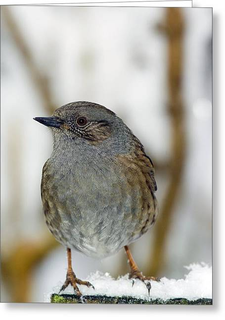 Dunnock Perched On A Garden Fence Greeting Card by Duncan Shaw