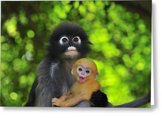 Dusky Leaf Monkey And Baby Greeting Card by Thomas Marent