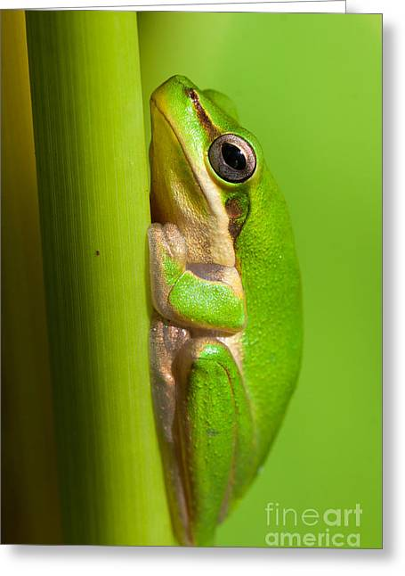 Dwarf Tree Frog Greeting Card by Johan Larson
