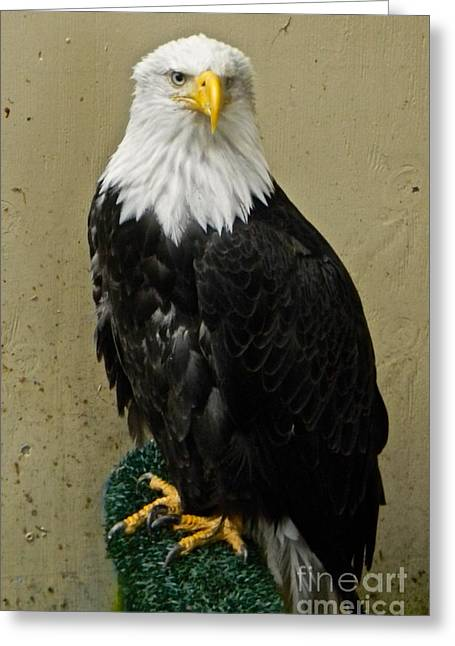 Eagle Greeting Card by Derek Swift