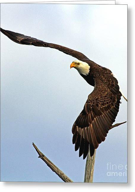 Greeting Card featuring the photograph Eagle Flight-wing Power by Larry Nieland