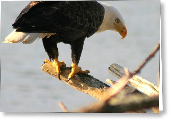 Greeting Card featuring the photograph Eagle On His Perch by Kym Backland