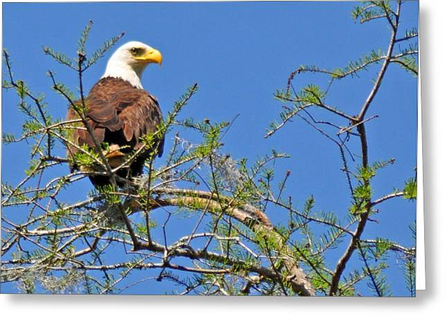 Eagle On Watch Greeting Card by Kathy Ricca