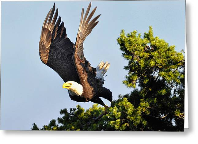 Eagle Takes Off Greeting Card by Sasse Photo