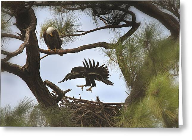 Eaglet First Flight Greeting Card by Joseph G Holland