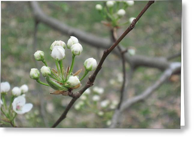 Early Blossoms Greeting Card by Rebecca Shaw