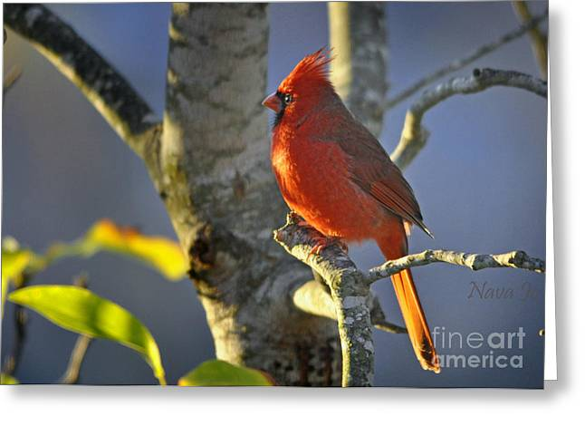 Greeting Card featuring the photograph Early Morning Cardinal by Nava Thompson