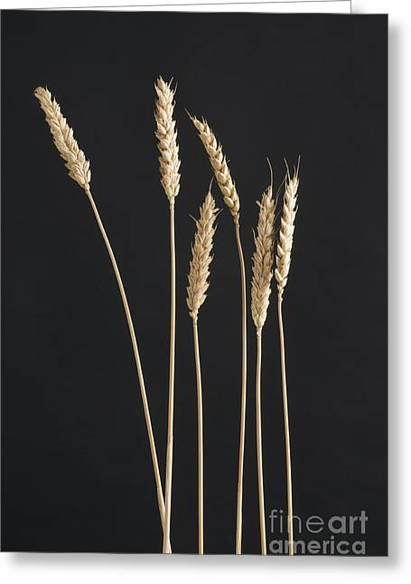 Ears Of Wheat Greeting Card by Bernard Jaubert
