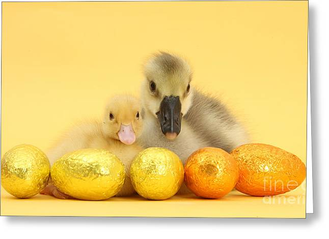 Easter Duckling And Gosling Greeting Card