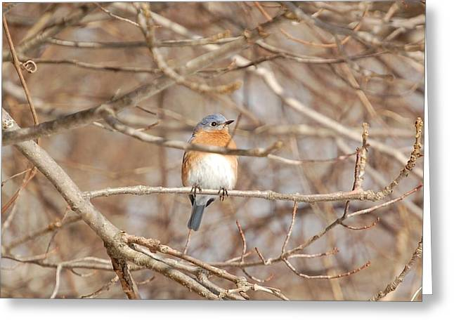 Greeting Card featuring the photograph Eastern Bluebird by Mary McAvoy