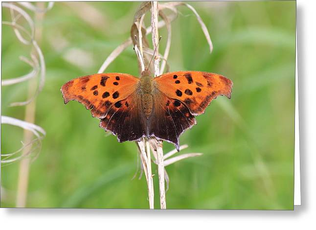 Greeting Card featuring the photograph Eastern Comma Butterfly by Penny Meyers