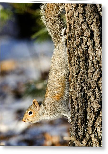 Eastern Gray Squirrel Sciurus Greeting Card by Tim Laman