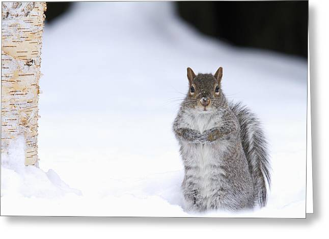 Eastern Gray Squirrel Standing Greeting Card by Philippe Henry