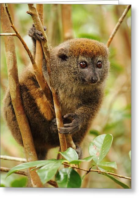 Eastern Grey Bamboo Lemur Greeting Card by Victoria Hillman