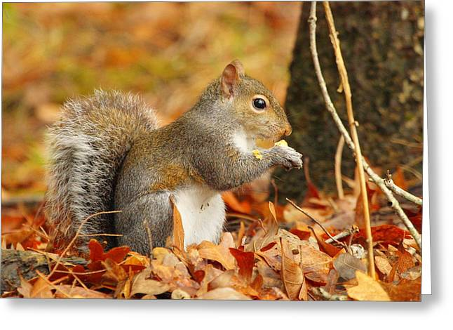 Eastern Grey Squirrel Greeting Card by Andrew McInnes