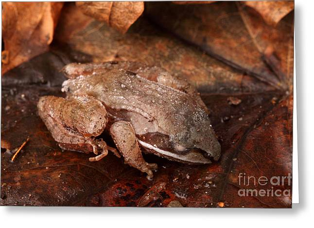 Eastern Wood Frog Hibernating Greeting Card by Ted Kinsman