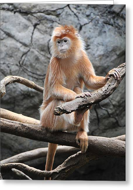 Ebony Langur Greeting Card by Mike Martin