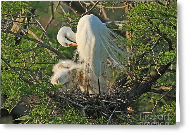 Greeting Card featuring the photograph Egret - Mother And Baby Egrets by Luana K Perez