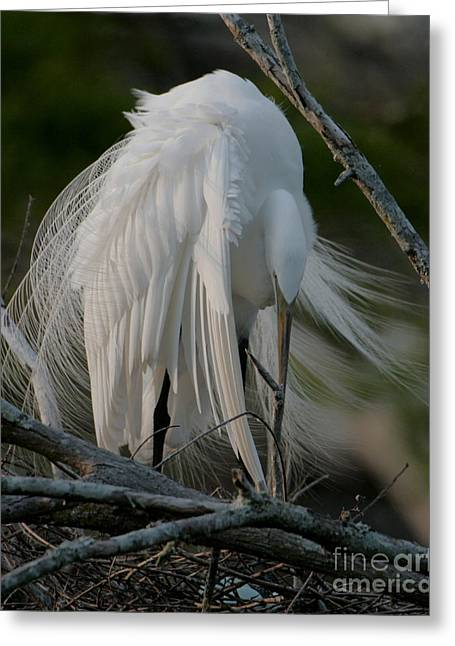 Greeting Card featuring the photograph Egret - Mother And Eggs  by Luana K Perez