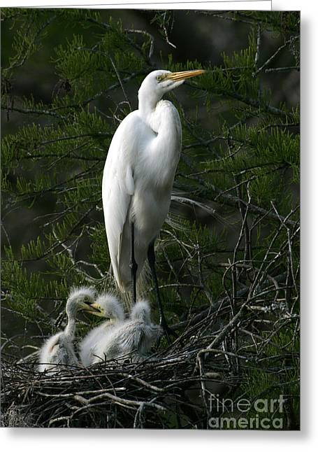 Greeting Card featuring the photograph Egret - Proud Mother by Luana K Perez