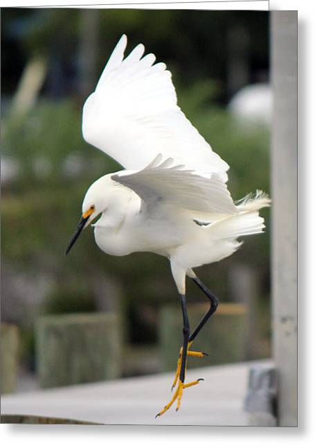 Egret Ballet Greeting Card