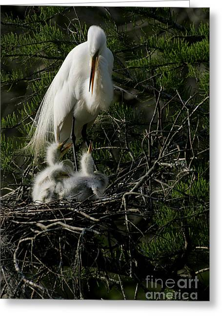 Greeting Card featuring the photograph Egret Bird - Mother Egret And Babies by Luana K Perez