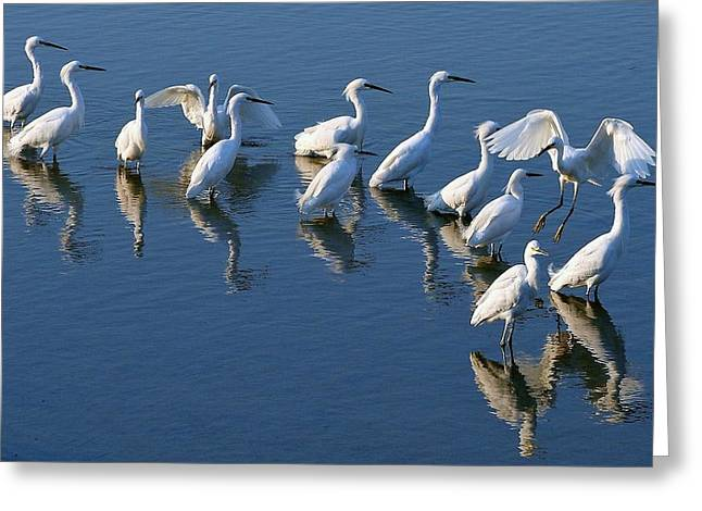Egret Gathering Greeting Card by Paulette Thomas