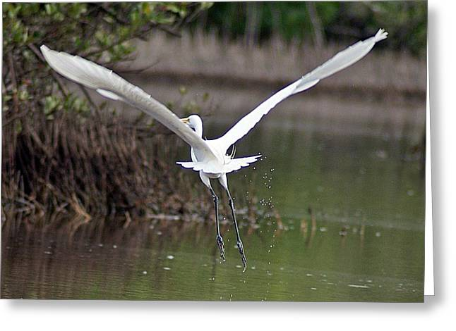 Egret In Flight Greeting Card by Joe Faherty
