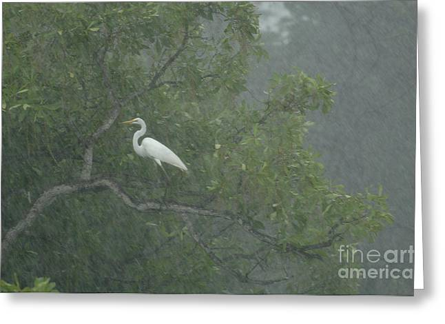 Egret In The Monsoons Greeting Card by Bob Christopher
