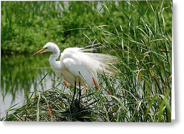 Egret Greeting Card by Kathy Gibbons