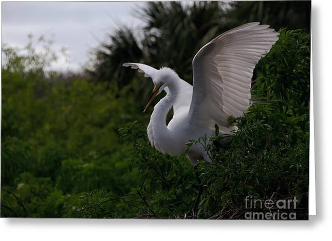 Egret Wings Greeting Card