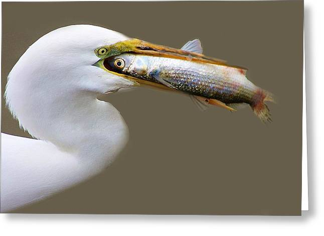 Egret With A Huge Fish Greeting Card by Paulette Thomas