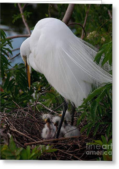 Egret With Chicks Greeting Card