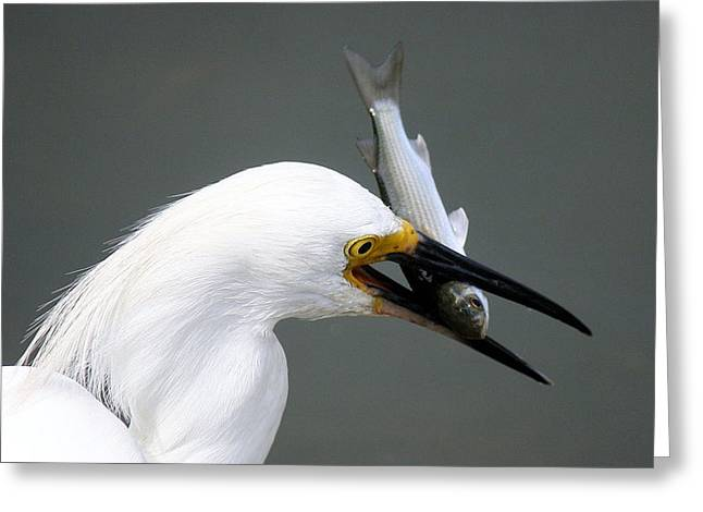 Egret With His Catch Of The Day Greeting Card by Paulette Thomas