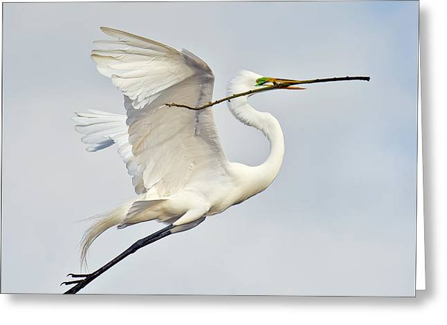 Egret With Nesting Material Greeting Card by Howard Knauer