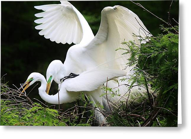 Egrets Mating Greeting Card by Paulette Thomas