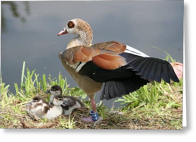 Egyptian Goose Stretching.. Greeting Card by Valia Bradshaw