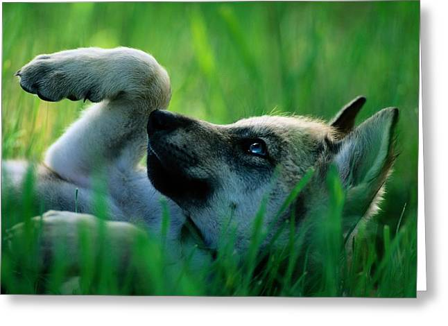 Eight-week-old Captive Gray Wolf, Canis Greeting Card by Joel Sartore
