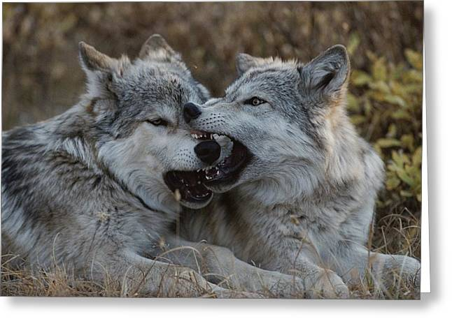 Eighteen-week-old Gray Wolves, Canis Greeting Card by Jim And Jamie Dutcher