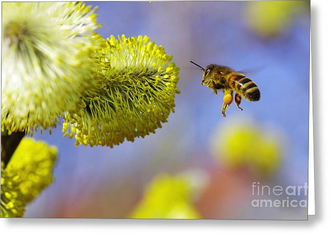Eine Honigbiene Im Flug Greeting Card