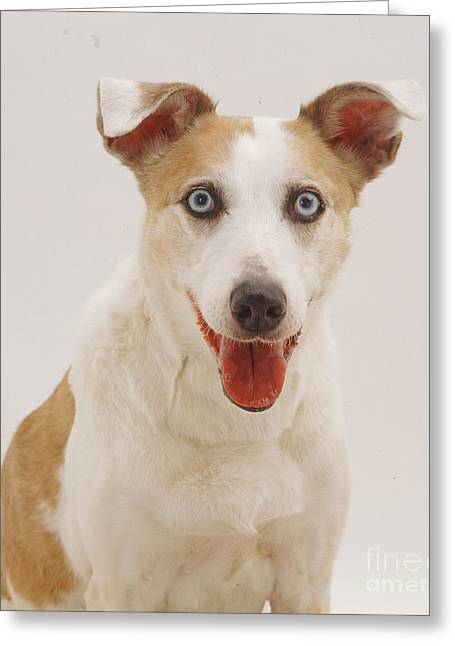 Elderly Collie Lurcher Dog Greeting Card