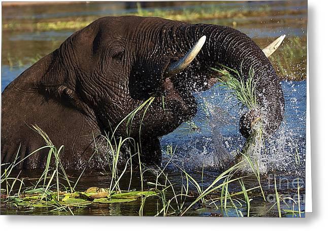 Elephant Eating Grass In Water Greeting Card by Mareko Marciniak